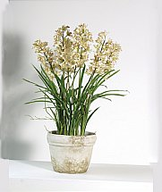 Coach House - Cream Orchid in Pot